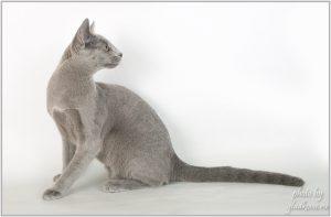 Ch. (WCF) Perfect Cat Biryuza