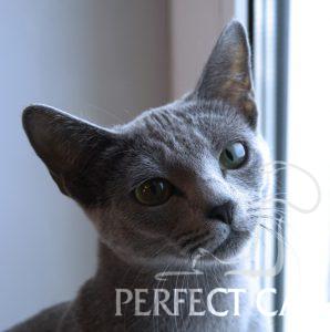 GR.I.Ch (WCF) Fuji Perfect Cat Kaptown