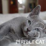 Platon Perfect Cat