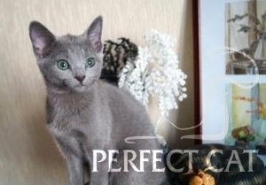 Assol Perfect Cat