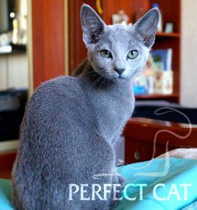 Perfect Cat Biryuza