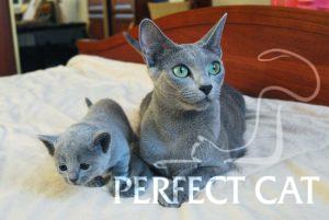 Fuji Perfect Cat и Zlata Jolie Preferee Kaptown