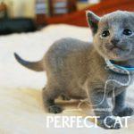 Fatian Perfect Cat