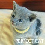 Fialka Perfect Cat