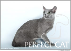 GR.I.Ch (WCF) Fuji Perfect Cat Kaptown