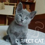 Harisma Perfect Cat