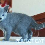 Hosta Perfect Cat