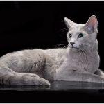 CH Perfect Cat Camelot Pinega