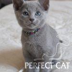 Paskal Perfect Cat