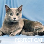 Akim Venustas Atis of Perfect Cat