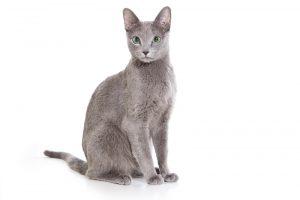 Queen Perfect Cat