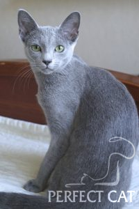Ch.(WCF) Pandora Perfect Cat Kaptown