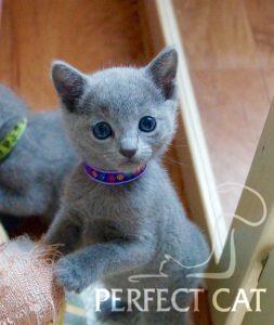 Elsa Perfect Cat