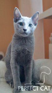 Perfect Cat Lisana Pinega