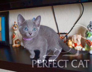 Perfect Cat Daria Pinega