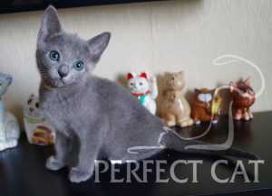 Perfect Cat Dvina Pinega