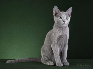 Perfect Cat Kaluga Pinega