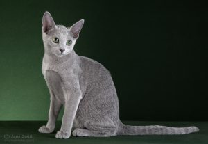 Perfect Cat Kalinka-Malinka Pinega