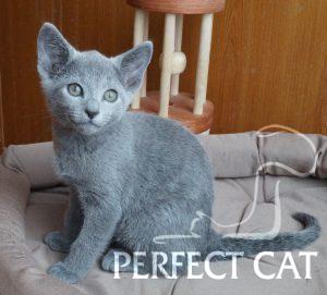 Ivette Perfect Cat