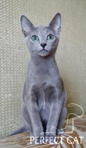 Perfect Cat Znayka Pinega