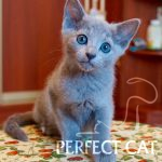 Strelka Perfectcat